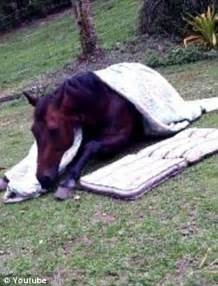 tuck into bed adorable clip of horse tucking himself into bed in middle