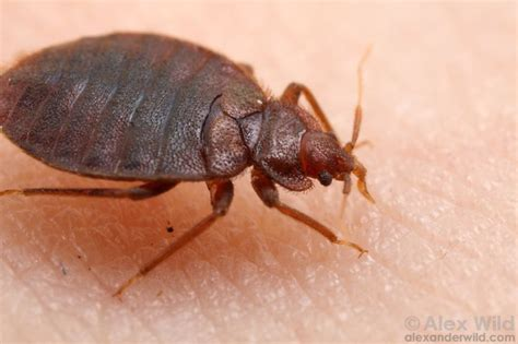 how common are bed bugs pin by capcom kai on insect creature pinterest