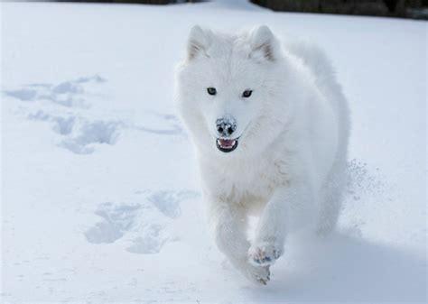 snow breeds 7 great snow breeds