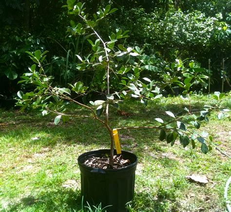 tropical fruit trees in florida the time for planting tropical fruit in your south