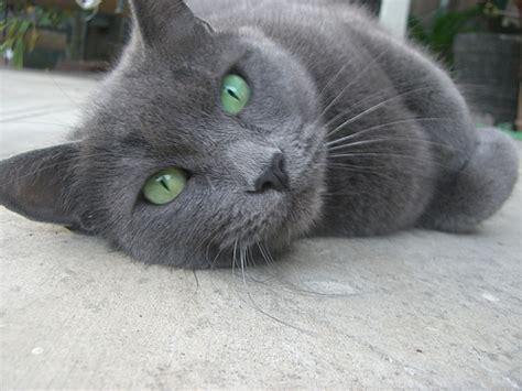 Grey Cat Green Eyes   Flickr   Photo Sharing!
