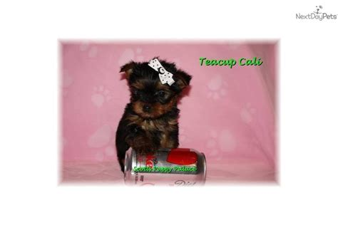low price yorkie puppies for sale teacup puppies for sale in australia breeds picture