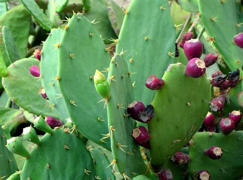 image prickly pear cactus fruit download free photo prickly pear cactus cactus fruit free