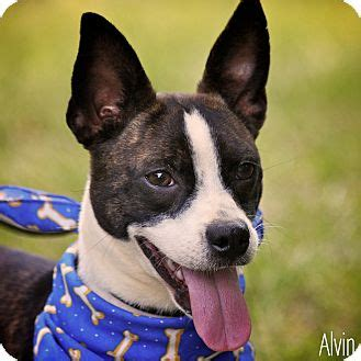 puppies for adoption albany ny alvin adopted albany ny boston terrier terrier unknown type small mix