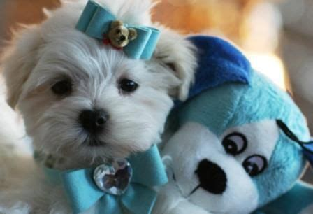 maltese puppies for sale in michigan this pupp is ready for my wedding animal lover