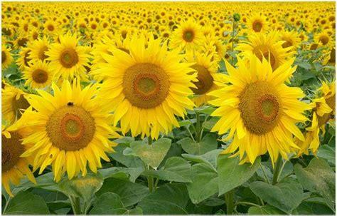 Minyak Bunga Matahari all about bunga matahari