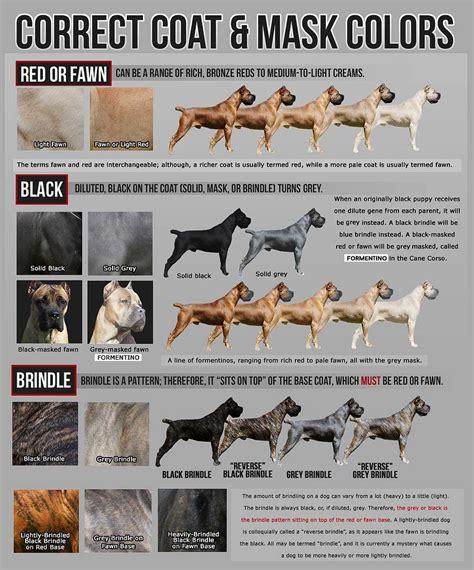 mastiff colors italian mastiff colors goldenacresdogs