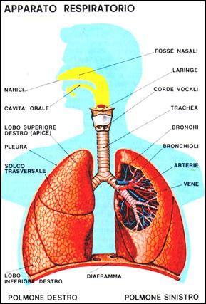 schema corpo umano organi interni apparato respiratorio umano
