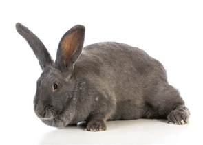 flemish colors flemish for sale rabbits breed information omlet