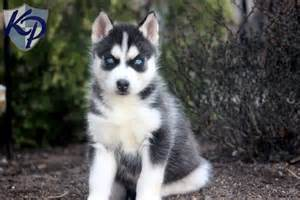 Pomeranian husky mix puppies for sale in pa yumingsu samoyed x husky