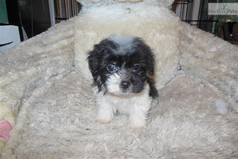havanese mini meet pop a havanese puppy for sale for 800 micro mini but mighty
