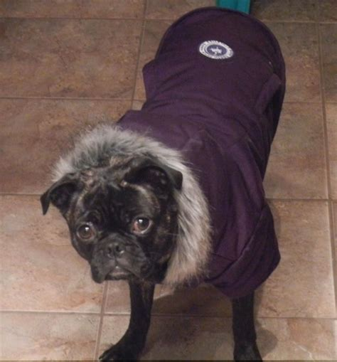boston and pug mix 232 best images about bugg dogs on memes best dogs and brindle pug