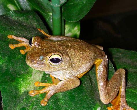 imagenes de ranas blancas 6 extra 241 os datos sobre las ranas taringa