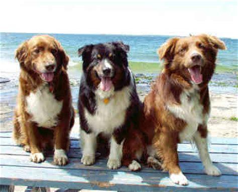 basque shepherd dog  life  animals