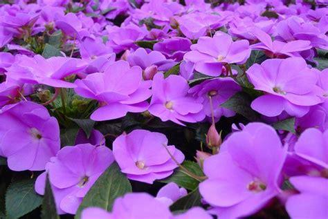 impatiens nuova guinea vaso nuova guinea pianta piante annuali la pianta nuova guinea