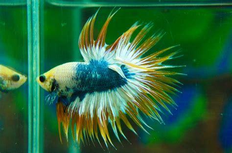 Crowntail Blue Stell mejores 533 im 225 genes de peces en animales