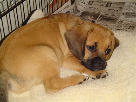 pug temperament stubborn may quot breed quot of the month puggle topic