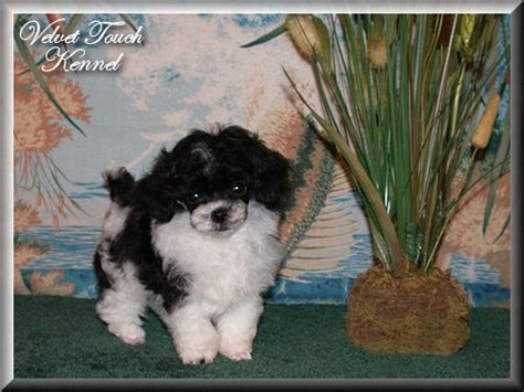 yorkies for sale in ta teacup poodle puppy for sale