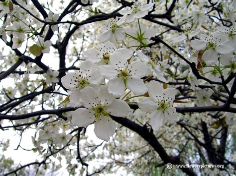 pear tree flower picture