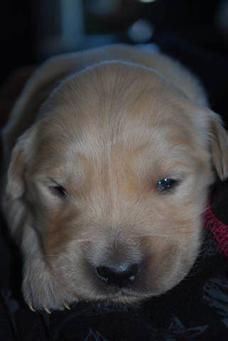 golden retriever breeders new brunswick european golden retriever puppies for sale adoption from st sauveur new brunswick