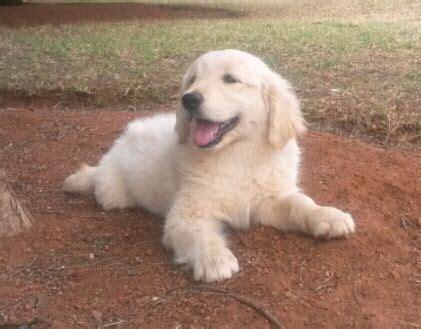 kusa golden retriever puppies sale golden puppies r clasf