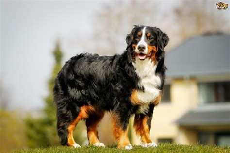burmese mountain bernese mountain breed information buying advice photos and facts pets4homes