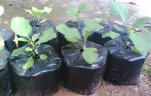 Bibit Terong Ungu Siap Tanam 6 cara menanam terong ungu agar berbuah lebat
