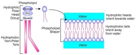 diagram of phospholipid unsig11cellmembrane a membrane structure q1 8