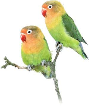 keeping lovebirds as pets cage pet care trust exercise outside birds together other lovebirds