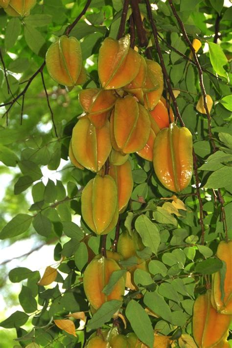 carambola fruit tree carambola fruit tree the carambola should be