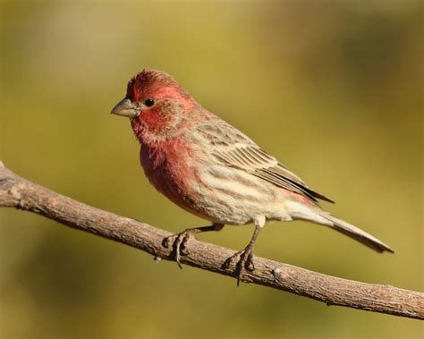 male house finch pin house finch male on pinterest