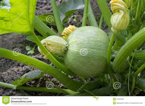Green Pumpkin Embryo Royalty Free Stock Images   Image