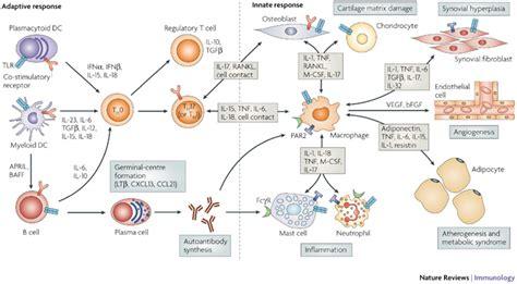 connettivite indifferenziata e alimentazione cytokines in the pathogenesis of rheumatoid arthritis