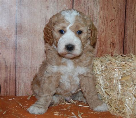 goldendoodle puppy cost prices payment blessed day labradoodles goldendoodles