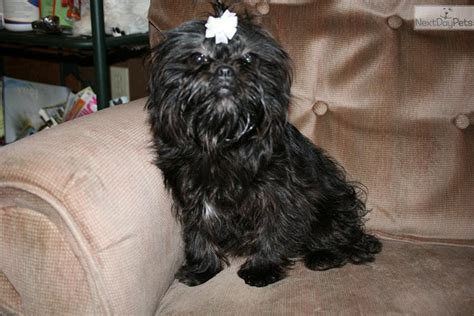 affenpinscher puppies for sale affenpinscher puppy for sale near springfield missouri 33fbc693 0a11