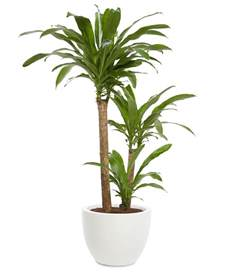dracaena fragrans dracaena dracaena fragrans 7 office plants you won t kill real simple
