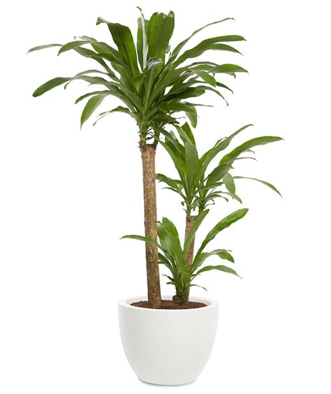 dracaena fragrans dracaena dracaena fragrans 7 office plants you won t