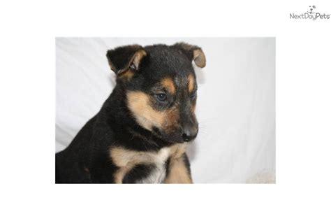 blue heeler german shepherd mix puppies for sale blue heeler border collie mix puppies for sale breeds picture