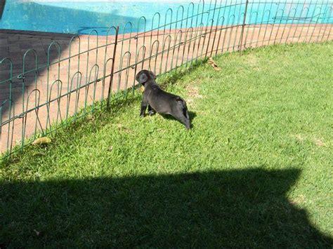 black boerboel puppies for sale black boerboel puppies for sale port elizabeth ads south africa