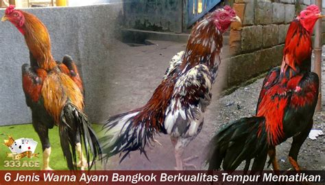 jenis warna ayam bangkok berkualitas tempur mematikan