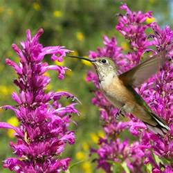 agastache hummingbird mint archives page 3 the high country gardens blog