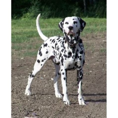 dalmatian puppies for sale in ga dalmatian breeders in the usa and canada freedoglistings page 2