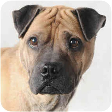 shar pei pug mix shar pei and pug mix sales in chicago breeds picture