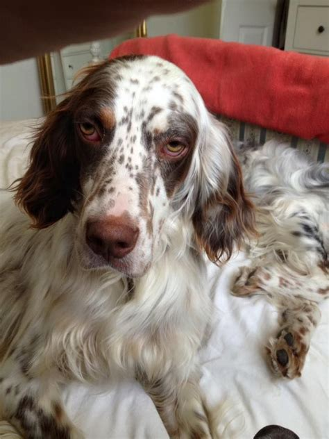English Setter Dog Adoption | noel liver belton english setter for adoption hull
