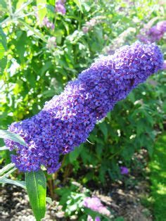 shrub with purple cone shaped flowers blue butterfly bush find this stunning bloom in the