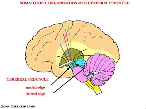 Cerebral Peduncle Human Brain