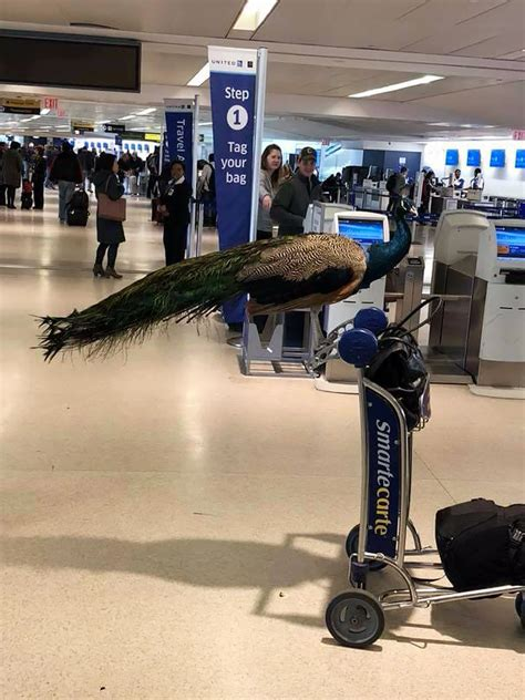 united airlines kicks emotional support peacock off flight