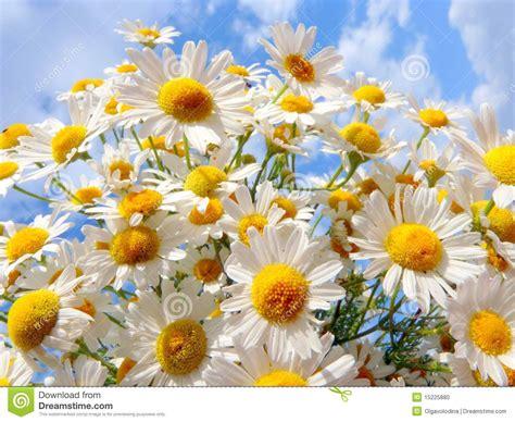 imagenes margaritas blancas margaritas blancas en un fondo de un cielo hermoso foto de