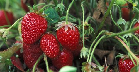 carbohydrates in 6 strawberries health benefits of strawberries nutritional facts and