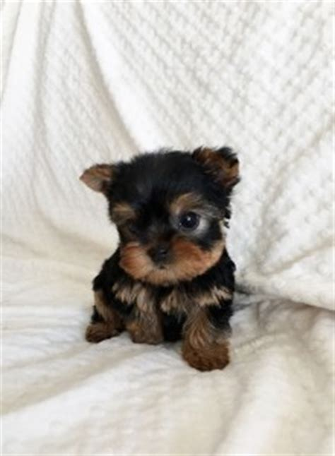teddy teacup yorkie iheartteacups we beautiful and tiny teacup and micro mini sized tea puppies for